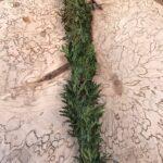 Kunksmoori elupuu viiruk