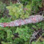 Kunksmoori koirohu tossukimp 20cm- 40cm