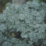 Koirohu taimetee 20g-30g